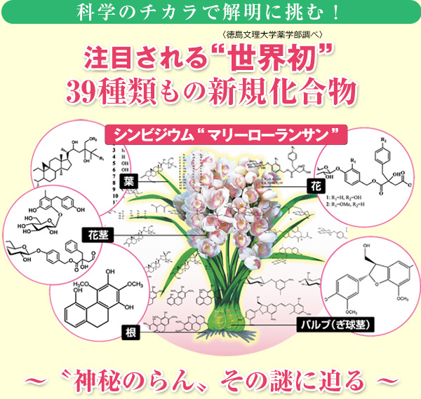 注目される世界初の39種類もの化合物と洋ランの生命力「シンビジウム マリーローランサン」